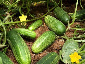 Αγγουριά - Cucumber