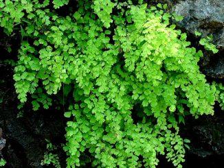 Αδίαντο - adiantum capillus-veneris l