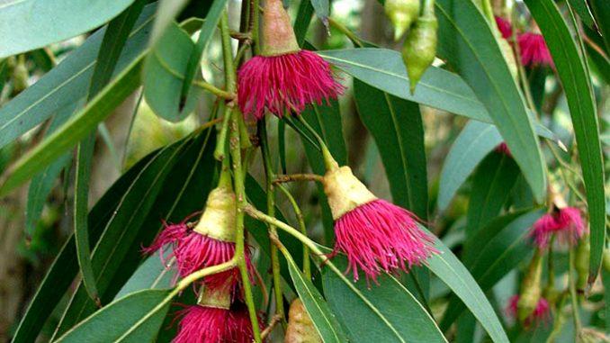 Αιθέριο Έλαιο Ευκαλύπτου Eucalyptus - Eucalyptus Essential Oil