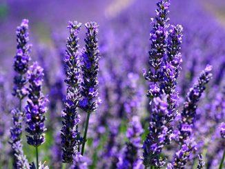 Αιθέριο Έλαιο Λεβάντας Lavender - Lavender Essential Oil