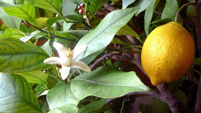 Αιθέριο Έλαιο Λεμονιού Citrus limon - Lemon Essential Oil