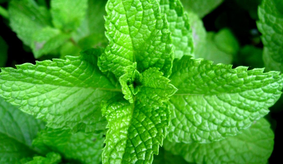 Αιθέριο Έλαιο Μέντας - Essential Oil of Mint
