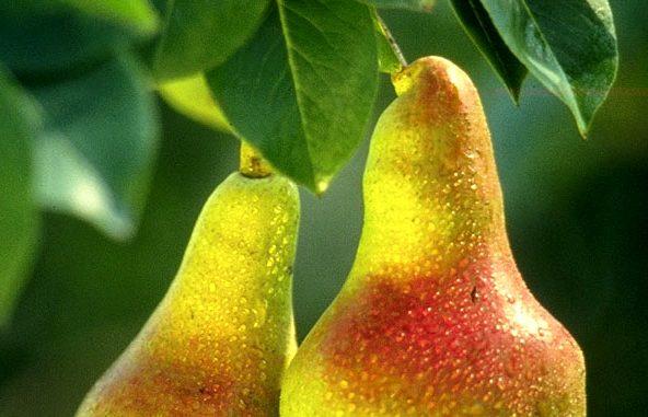 Αχλαδιά ή Απιδιά - Pears