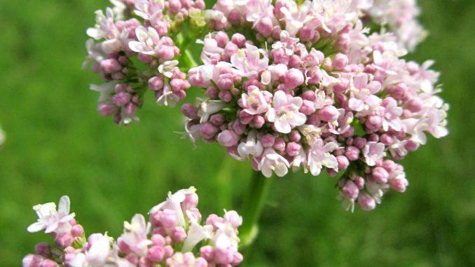 Βαλεριάνα βοτανο - Valerian herb