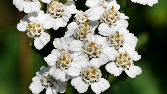 Αχιλλαία - Achillea millefolium